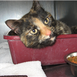 Found Black and Brown Tortoise Shell Female DMH.