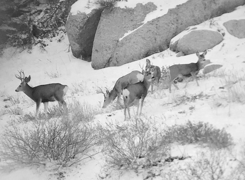 Deer in Corner Canyon for David